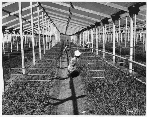Umberto Mazzoldi, lavoro in serra a Civitavecchia, gelatina ai sali d'argento/carta, CC BY-NC-ND