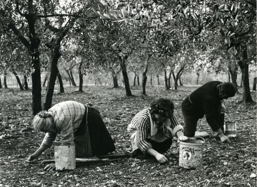 Lodovici, Riccardo, Montecchio di Castiglion Fiorentino (Arezzo). Raccolta delle olive., Stampa alla gelatina bromuro d'argento, CC BY-NC-ND