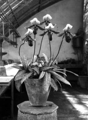 Sella, Erminio, San Gerolamo, orchidee, s.d., Lastra di vetro alla gelatina al bromuro d'argento, CC BY-SA
