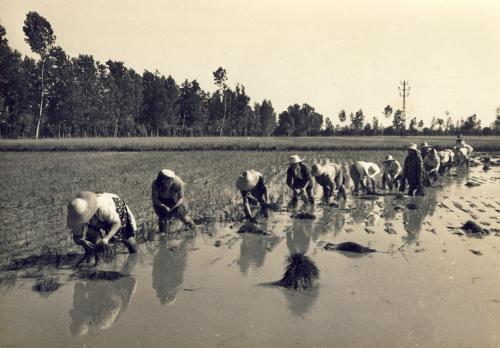 Vercellesi - trapianto del riso, scanner da originale, CC BY-SA