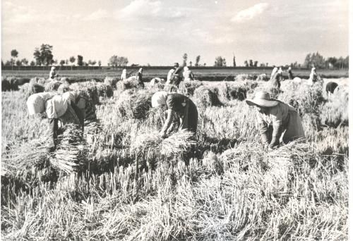 Mietitura del riso, CC BY-NC-ND